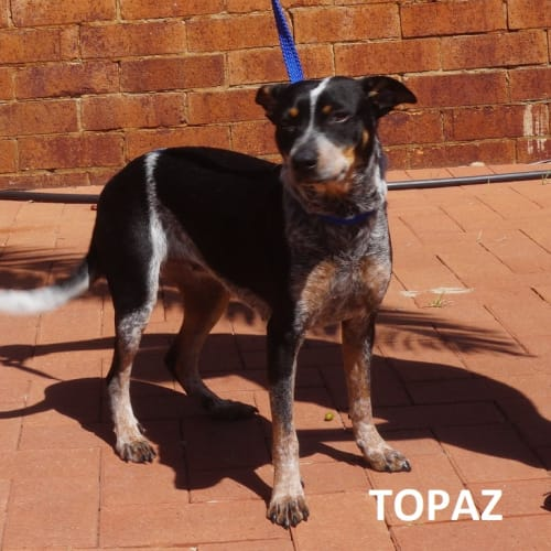 Topaz - Blue Heeler Dog