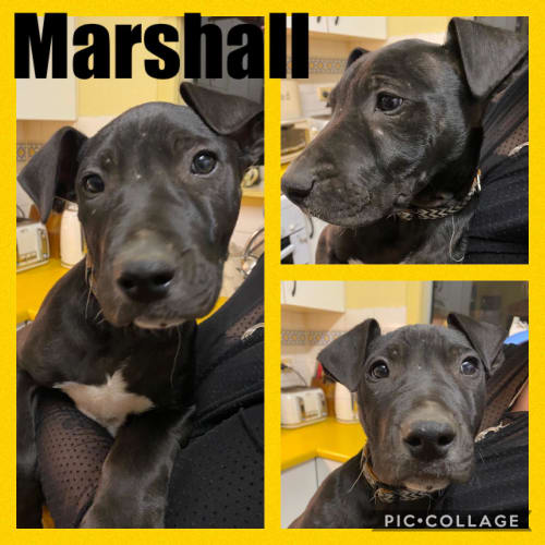 Marshall - Great Dane x Irish Wolfhound x Greyhound Dog
