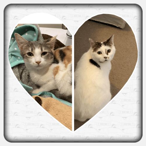 Harmony & Cora - Domestic Short Hair Cat