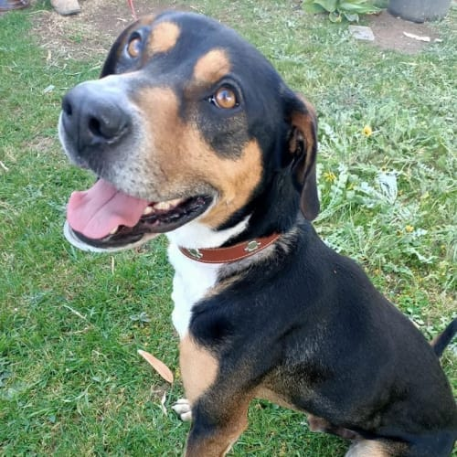 Boss - Kelpie Dog