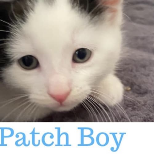Patch  - Domestic Short Hair Cat