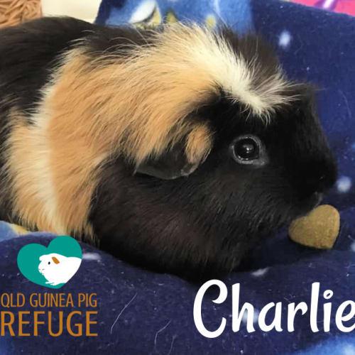Charlie - Crested Guinea Pig