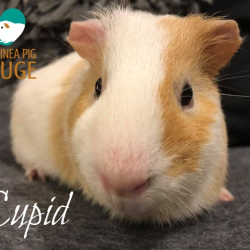 Cupid - Smooth Hair Guinea Pig