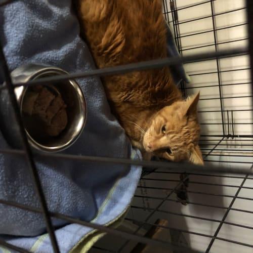 Razzy  - Manx Cat