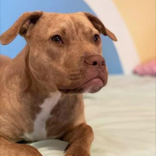Rocky ~ 1 yr old Mastiff x