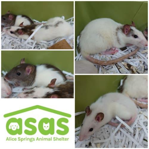 Female Ratties