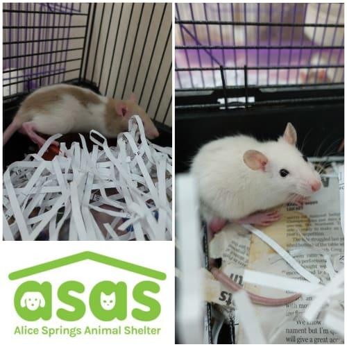 Male Rattos