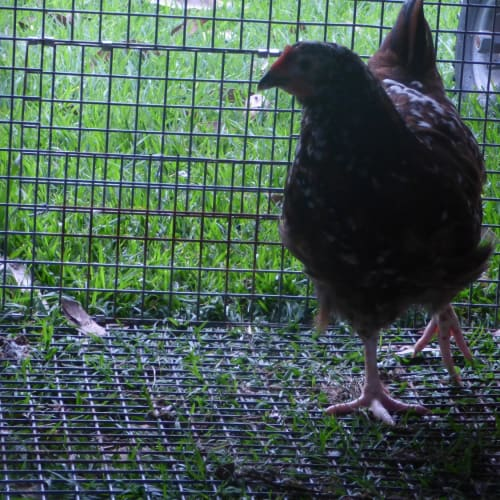 Sussex Roosters