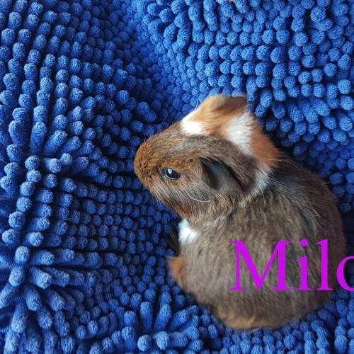 Milo (Buddies with Frizzle, Moonbeam, & Milkshake)