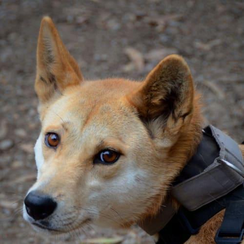 Sassy- Dingo