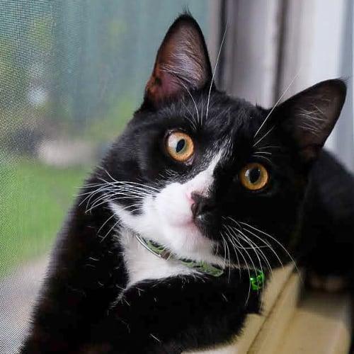 Swish ~ 6 month old male kitten