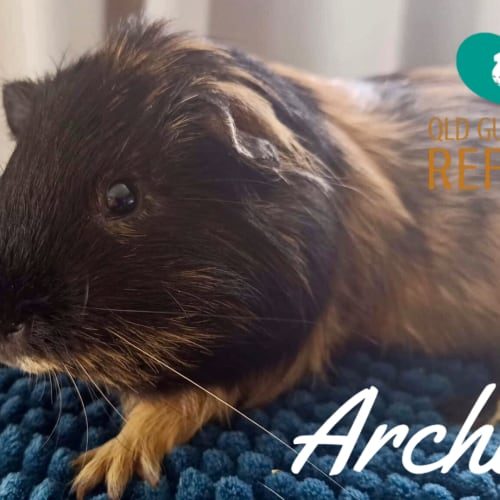 Archie (desexed male)
