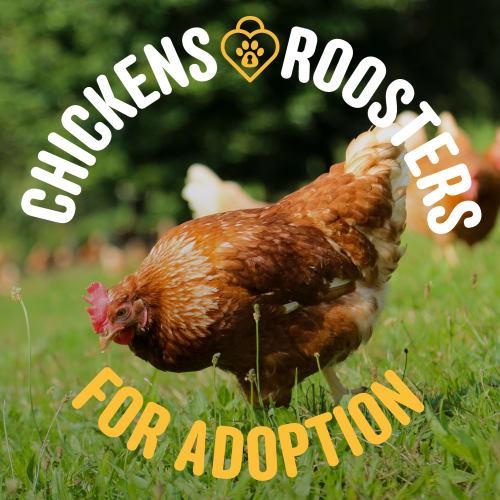 Chooks for Adoption