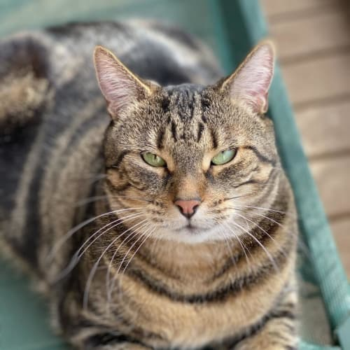 Luna Manx, The Boss Chonk Cat