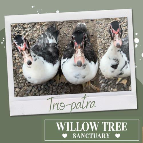 Trio-patra the Muscovy triplets