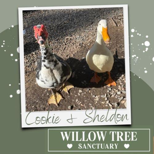 Cookie / Sheldon
