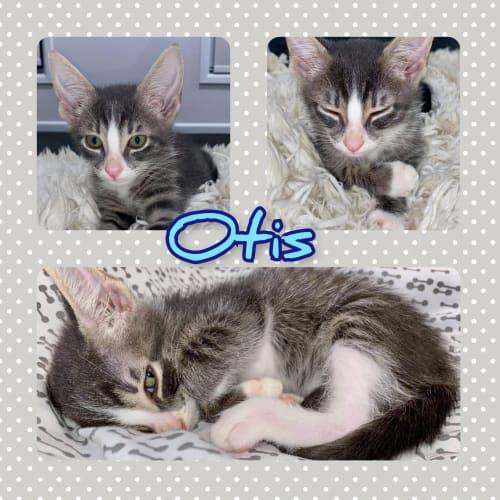 Otis  Meet Otis, the cutest and goofiest bundle of
