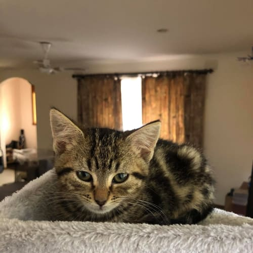 Woody **2nd Chance Cat Rescue**