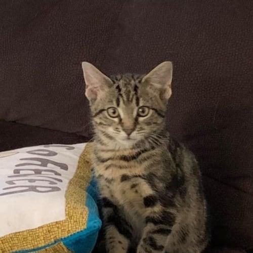 Spice - 6 month old kitten
