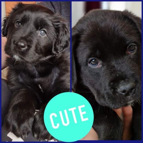 Sheba & Cinder ~ Tibetan Mastiff X Puppies