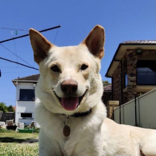 Oscar ~ 2 yr dingo x cattle dog
