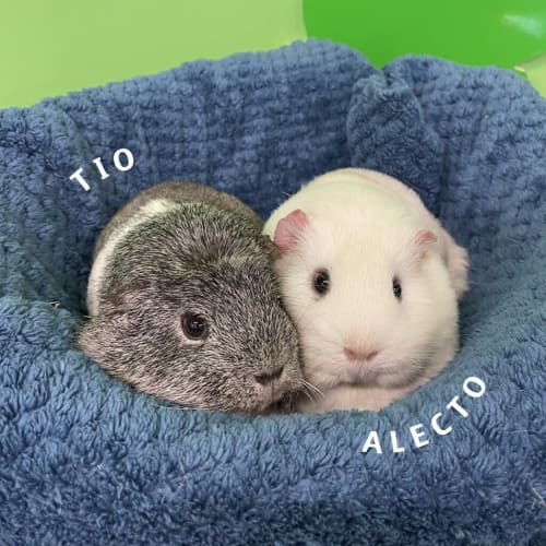 Tio (bonded To Alecto) (adoption Pending)