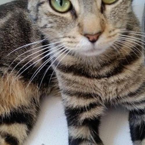 Bubbles - Domestic Short Hair Cat