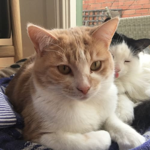 Ruby (Located in Bentleigh East) - Domestic Short Hair Cat