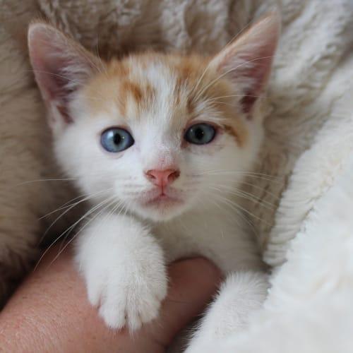 Cheeto  - Domestic Short Hair Cat