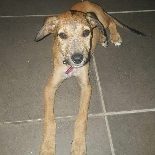 Ashleigh - Kelpie x Wolfhound Dog