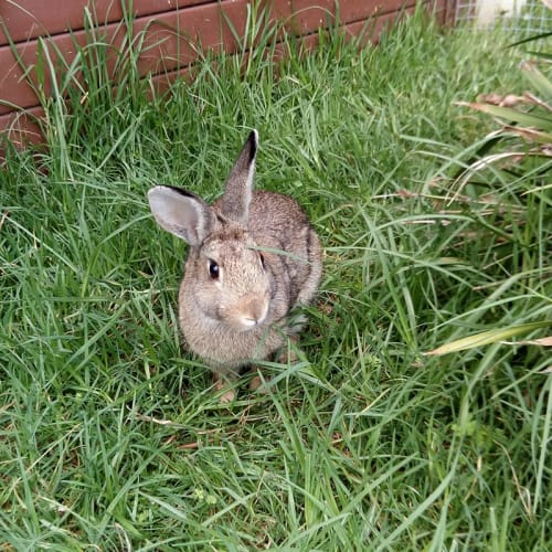 Chester - Dwarf Rabbit