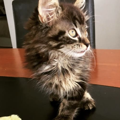 Grizzly - Domestic Long Hair Cat