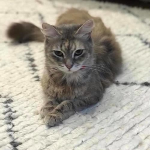 Shelby - Domestic Long Hair Cat