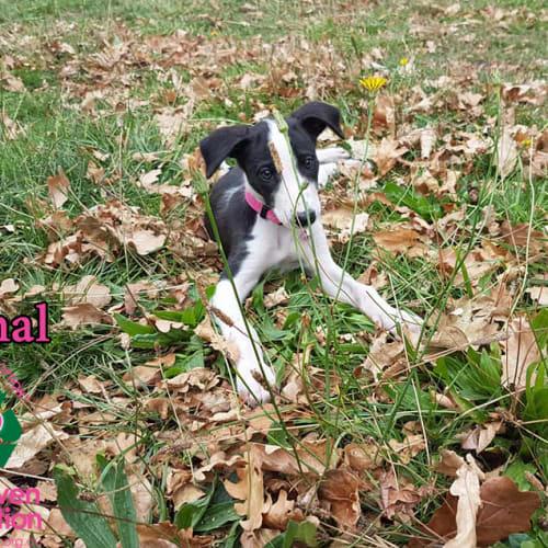 Mahal - Deer Hound Dog