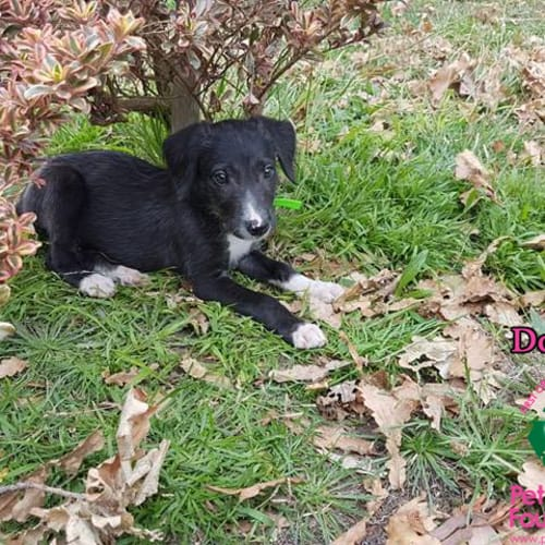 Domino - Deer Hound Dog