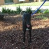 Photo of Beau (Greenhound In Training)