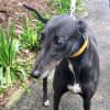 Photo of Sweety (Greenhound In Training)