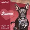 Photo of Bonnie ~ 1.5yo Friendly Kelpie X Girl