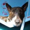 Photo of Adoptabull   Max