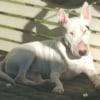 Photo of Adoptabull   Frankie