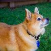 Photo of Rosie ~ Pomeranian X Terrier (On Trial 18/2/2018)
