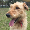 Photo of Miss Molly ~ Wolfhound X Airedale
