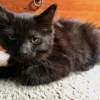 Photo of Miss Madonna **2nd Chance Cat Rescue**