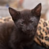 Photo of Diesel **2nd Chance Cat Rescue**
