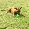 Photo of Roxy ~ 6 Month Old Mastiff X