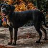Photo of Jedda ~ 2 Yo Staffy X Mastiff (Deposit Paid)