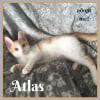 Photo of Atlas ~ Kitten