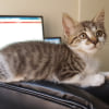Photo of Regulus **2nd Chance Cat Rescue**