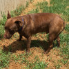 Photo of Red Dog