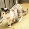 Photo of Vera The Tortoiseshell Munchkin Cat!